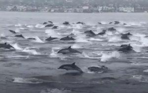 Υπερθέαμα με 100 δελφίνια να κολυμπούν μαζί