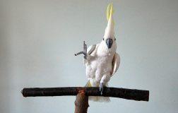 Perierga.gr - Πτηνό... χορευτής εκτελεί 14 διαφορετικές κινήσεις