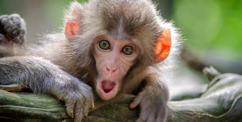 Perierga.gr - Μαϊμού-επαναστάτης σπάει τζαμαρία σε ζωολογικό κήπο!