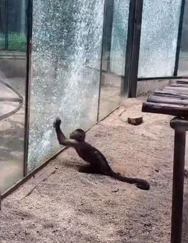 Perierga.gr -Μαϊμού-επαναστάτης σπάει τζαμαρία σε ζωολογικό κήπο!