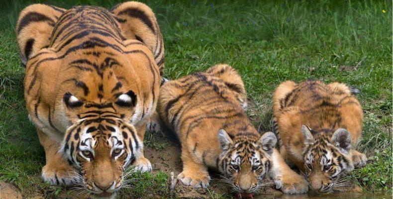 Perierga.gr - Τα... τέσσερα μάτια της τίγρης