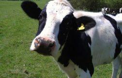 Peirierga.gr - Ενδιαφέροντα στοιχεία για τις αγελάδες