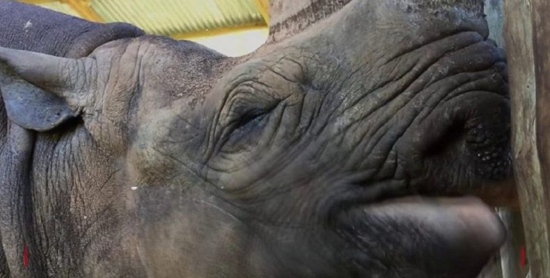 Perierga.gr - Πέθανε ο γηραιότερος ρινόκερος του κόσμου