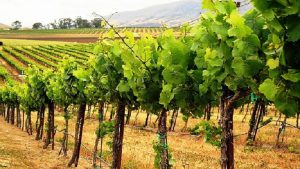Perierga.gr - Απειλή για το κρασί η κλιματική αλλαγή