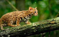 Perierga.gr - Ο μικρότερος αγριόγατος του κόσμου κινδυνεύει υπό εξαφάνιση