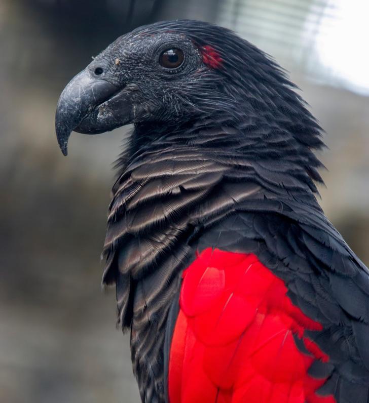 Perierga.gr - Παπαγάλος-δράκουλας: Το εντυπωσιακό πτηνό με τα μαύρα και κόκκινα φτερά