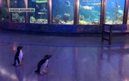 Perierga.gr - Ενυδρείο έκλεισε λόγω κορωνοϊού και άφησε ελεύθερους τους πιγκουίνους να κάνουν βόλτα