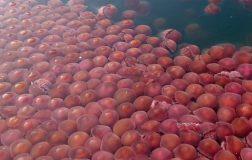 Perierga.gr - Χιλιάδες ροζ μέδουσες στις ακτές των Φιλιππίνων