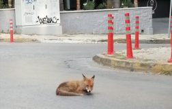 Perierga.gr - Αλεπού λιάζεται στη μέση του δρόμου στην Αγία Παρασκευή