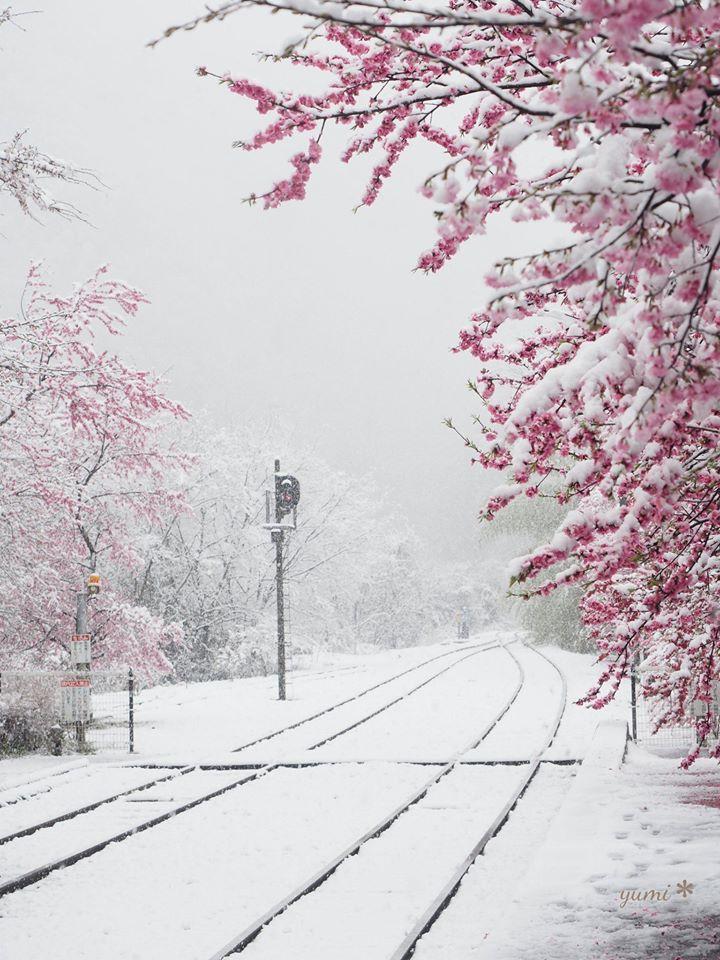 Perierga.gr - Θέαμα που δε βλέπουμε συχνά... χιονισμένες οι ανθισμένες κερασιές της Ιαπωνίας