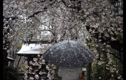 Perierga.gr - Homenami: Μόνο στο διαδίκτυο, φέτος, η απόλαυση των ανθισμένων κερασιών στην Ιαπωνία