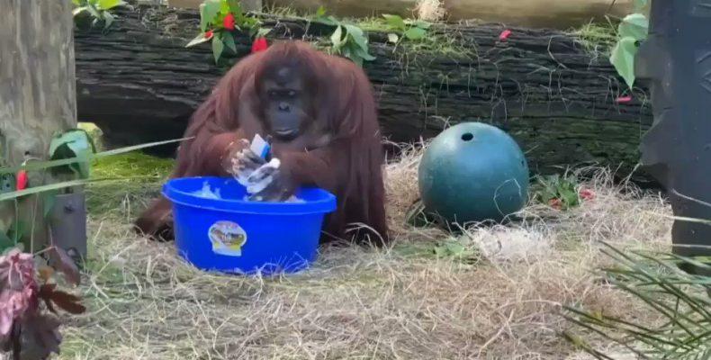 Perierga.gr - Ουρακοτάγκος πλένει τα χέρια του!