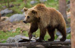 Perierga.gr - 12χρονος αντιμετώπισε με απόλυτη ψυχραιμία αρκούδα που τον ακολουθούσε!