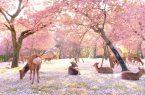 Perierga.gr - Ελάφια απολαμβάνουν την άνοιξη στο ανθισμένο πάρκο Νάρα με τις περίφημες κερασιές