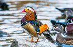 Perierga.gr - Οι όμορφες, πολύχρωμες πάπιες μανδαρίνοι