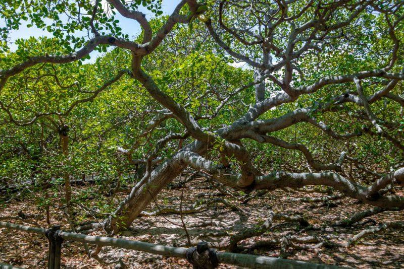 Perierga.gr - Το μεγαλύτερο δέντρο κάσιους στον κόσμο