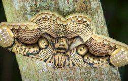 Perierga.gr - Τα φτερά της νυχτοπεταλούδας που θυμίζουν το βλέμμα της τίγρης