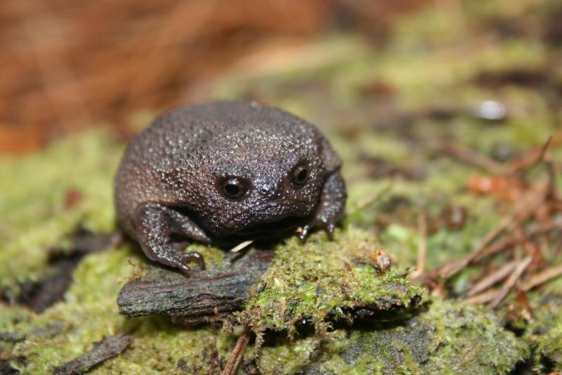 Perierga.gr - Ο αφρικανικός βάτραχος με το περίεργο κόασμα!