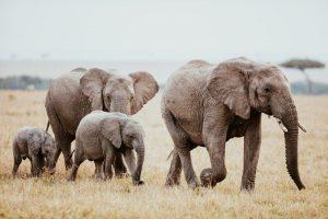 Perierga,gr - Ανεξήγητος θάνατος για 350 ελέφαντες στη Μποτσουάνα
