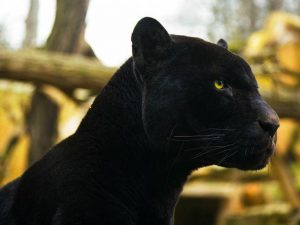Perierga.gr - Σπάνιο θέαμα: Μαύρος πάνθηρας εντοπίστηκε σε δάσος της Ινδίας