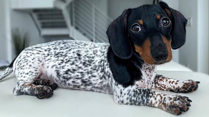 Perierga.gr - Σκύλος με κεφάλι Ντάτσχουντ και σώμα Δαλματίας!