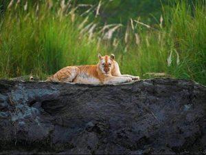 Perierga.gr - Σπάνια χρυσή τίγρης εντοπίστηκε ζωντανή μετά από χρόνια