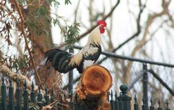 Perierga.gr - Ιταλός πλήρωσε πρόστιμο γιατί ο κόκοράς του λαλούσε στις 4.30 το πρωί!